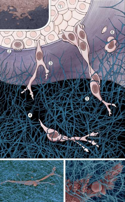 Migration de cellules cancéreuses dans une matrice de collagène