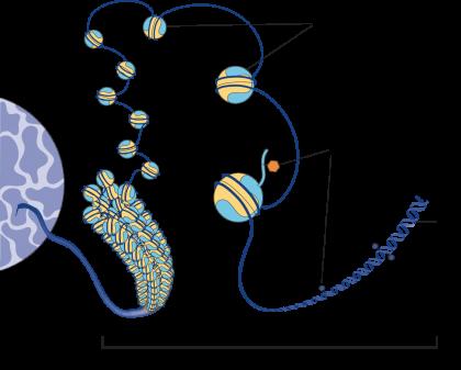 PSL-Explore-Focus-chromatine