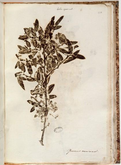 Impression de plantes du voyage. Guercus mexicana.