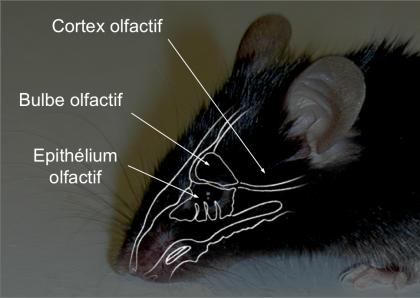 psl_explore_focus_odorat_souris_schema_systeme_olfactif