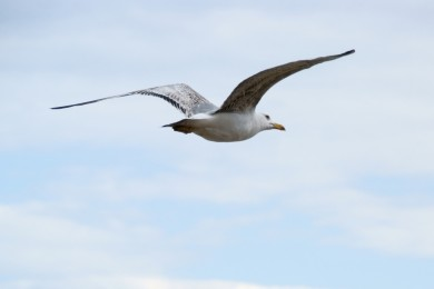 mouette_open_access